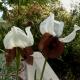 P1210799,_Iris_iberica_var._elegantissima.jpg