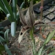 P1210852,_Iris_acutiloba_ssp._lineolata.jpg