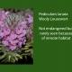 Pedicularis_lanata.jpg