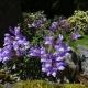 Penstemon_fruticosus_Purple_Haze.jpg