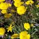 Ranunculus_graminifolius_UBC.jpg