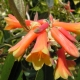 Rhododendron_Cinnkeys.jpg