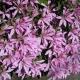 Rhododendron_koromo_shikibu.jpg