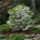 Rhododendron_quinquefolium.jpg