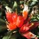 Rhododendron_spinuliferum2.jpg