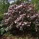 Rhododensron_fulvum.jpg