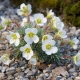 Saxifraga_Brookside.jpeg