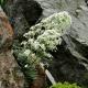 Saxifraga_longifolia.jpg