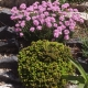 Thrift_and_Picea_abies_Malena_crevice_garden.jpeg