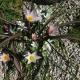 Tulipa_cretica_and_Ornithogalum_nanum.jpg