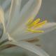 _Hesperocallis_undulata_Num2_California.jpg