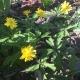 yellow_anem.jpg