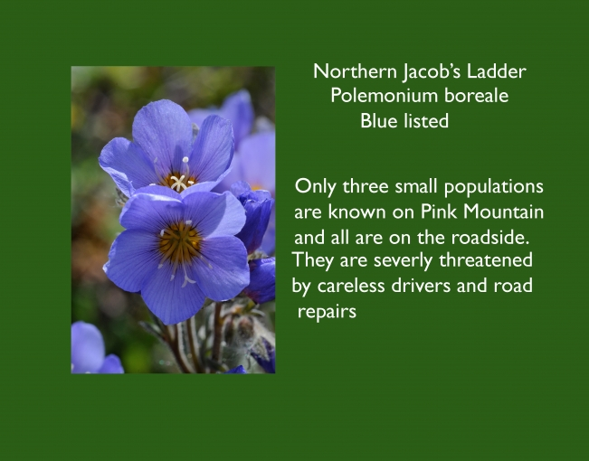Polemonium_boreale_Blue_listed_-1.jpg
